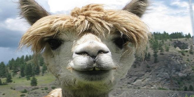 queso de alpaca