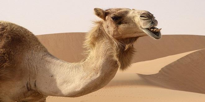 queso de camello