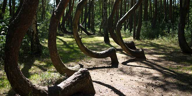 Crooked-Forest-