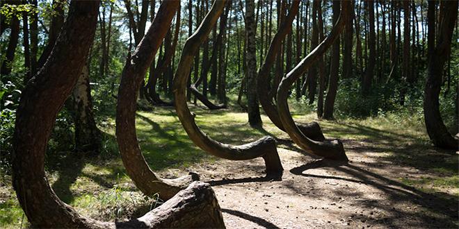 Bosque de Gryfino, conocido como Bosque Torcido