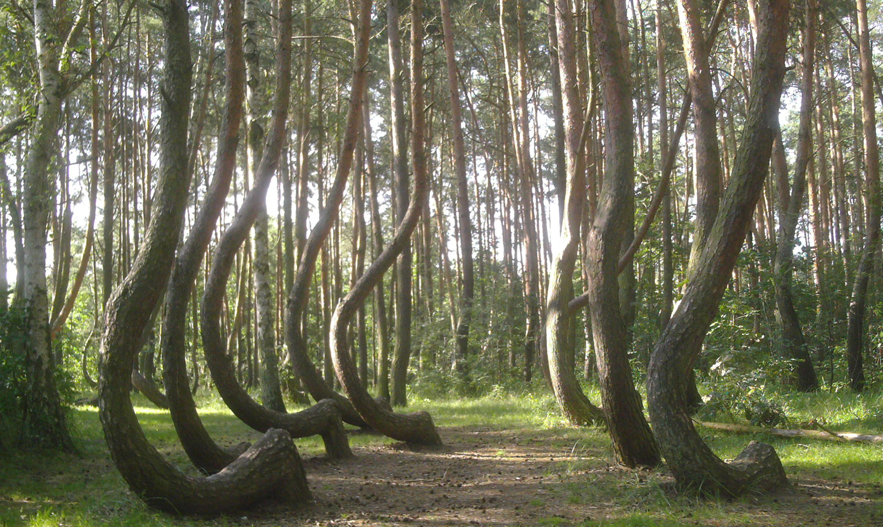 El Misterioso Bosque Torcido De Polonia on Furniture Made From Tree Trunks
