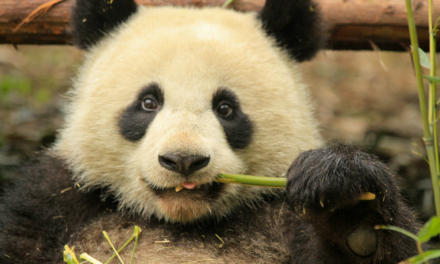 Chengdu, el paraíso de los osos panda