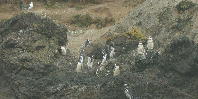 Pingüineras