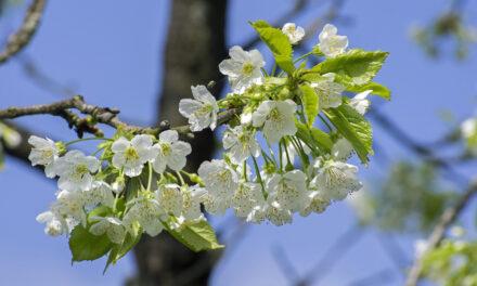 Vive de la ruta de los cerezos en flor