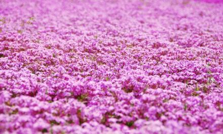 El parque de Takinoue, la parte rosa de Japón