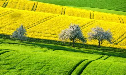 Los campos de colza, un tesoro dorado