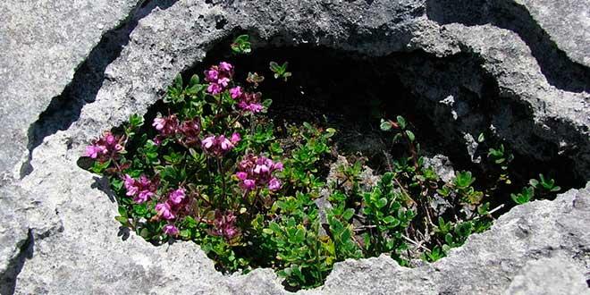 Flores-en--Burren