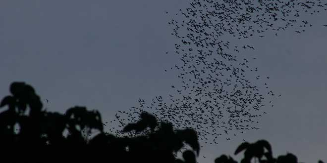 Muciélagos-en-gunung-mule