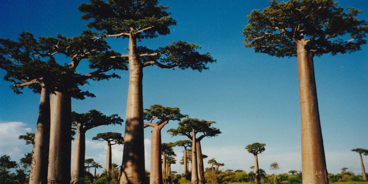 La mágica Avenida de los Baobabs en Madagascar