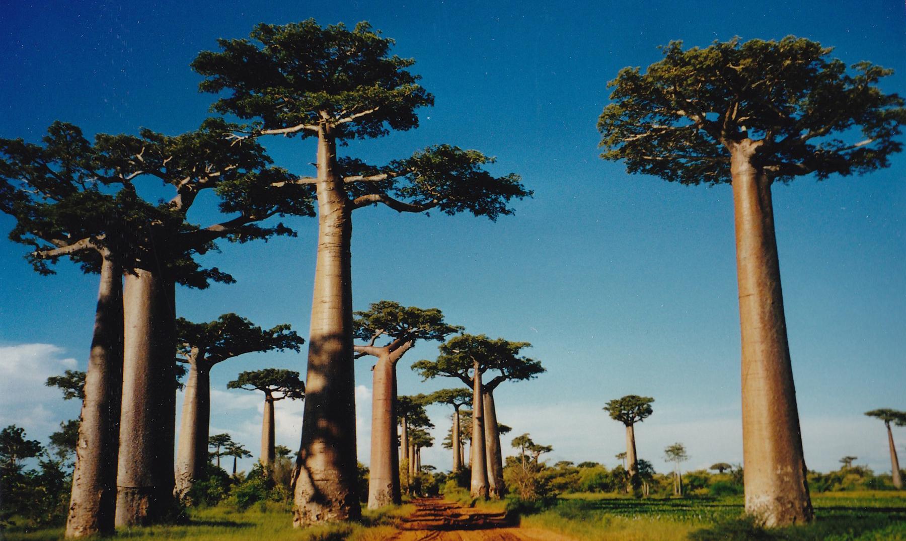 La mágica Avenida de los Baobabs en Madagascar - El