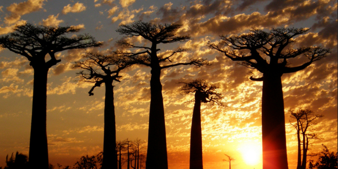 baobabs1