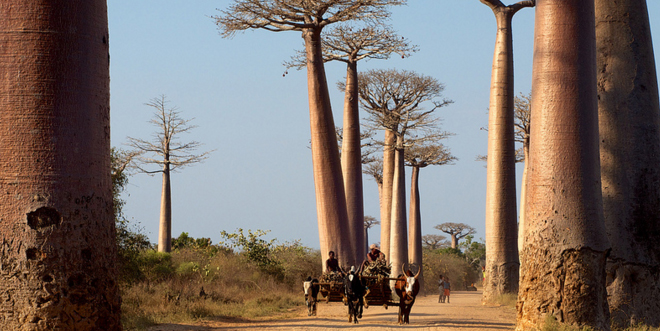 baobabs2