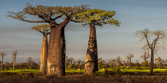 baobabs4