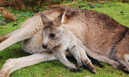 Kangaroo Island: la Isla de los Canguros