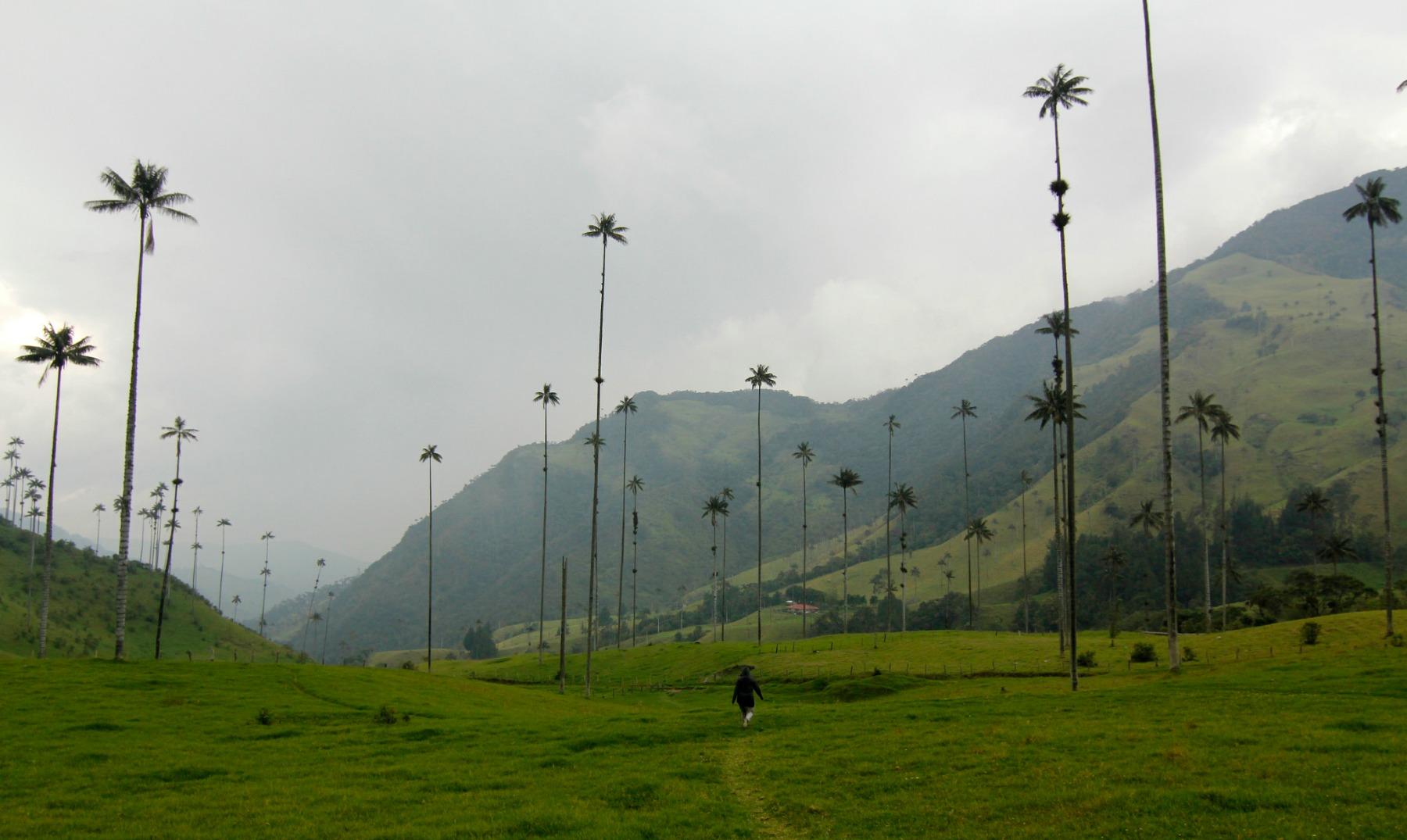 Bosque de Cocora