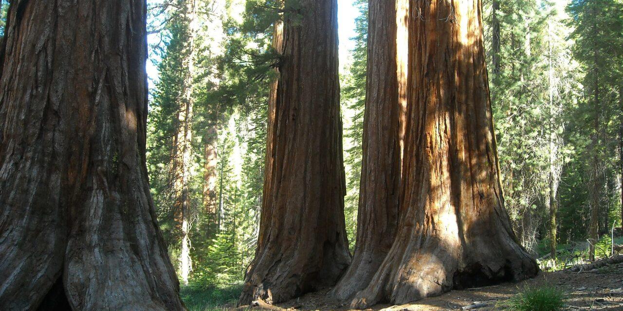 Mariposa Grove y sus árboles gigantes