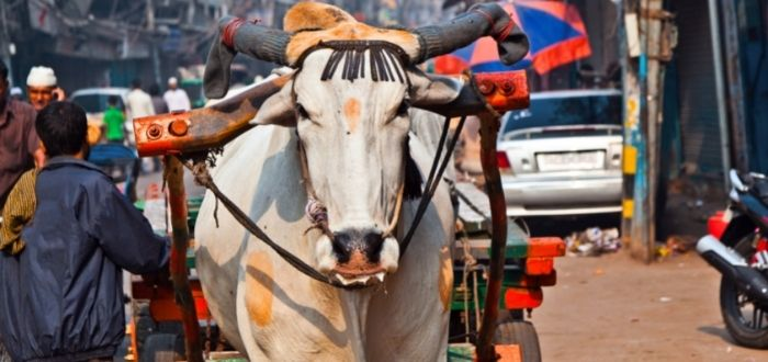 Vaca sagrada en India | Consejos para viajar a la India