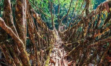 Los puentes vivientes de Meghalaya, arquitectura natural