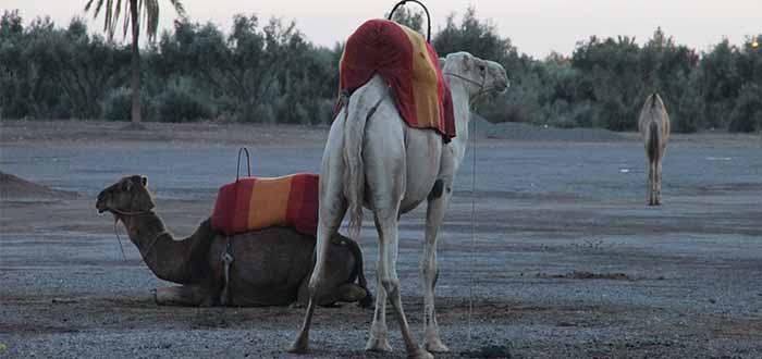 Desierto Marruecos Dromedarios