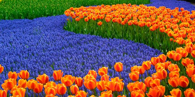 Campo de tulipanes en Keukenhof