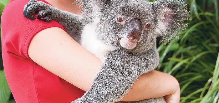Kuranda Koala Gardens | Qué ver en Cairns