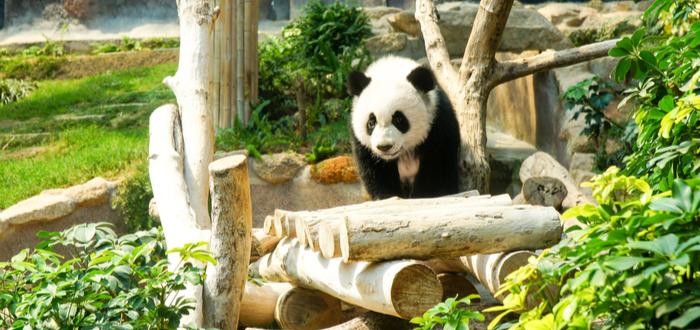 Qué ver en Macao. Macao Giant Panda Pavilion