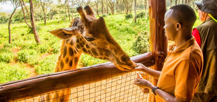 Qué ver en Nairobi. Giraffe Centre