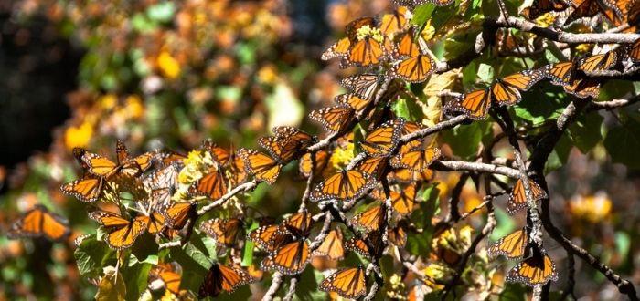Mariposas monarcas | Qué ver en Morelia
