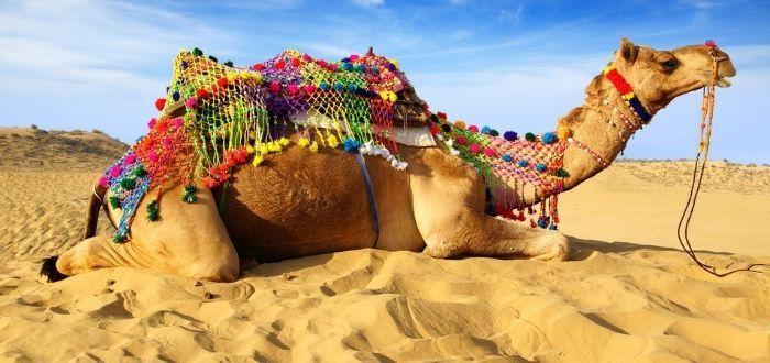 Cultura de la India: Festival del Camello de Bikaner