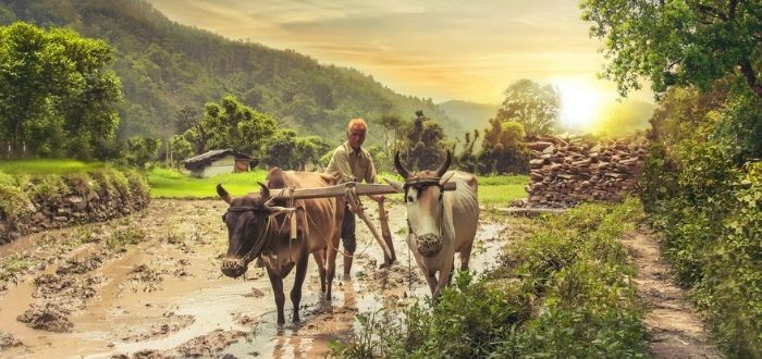 Vacas sagradas en territorio indio